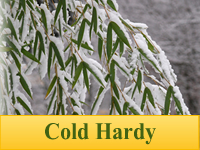 Bamboo Plants - Cold Hardy