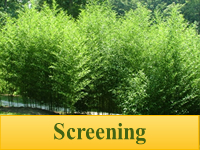 Bamboo Plants for Screening