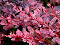 Barberry Shrubs