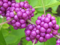 Beautyberry Shrubs