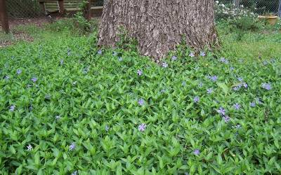Bowles Evergreen Periwinkle