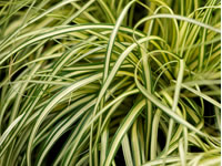 Carex - Sedge Grasses