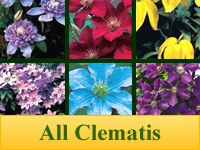 Clematis - All