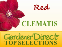 Clematis - Red Flowered