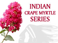 Fauriei Hybrid Indian Crape Myrtle Series