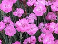 Dianthus Groundcovers