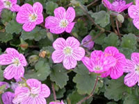 Erodium - Heron's Bill
