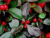 Gaultheria - Wintergreen
