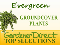Groundcover Plants - Evergreen