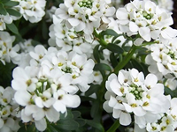 Iberis - Candytuft Plants