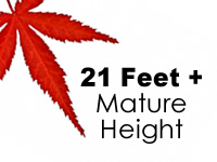 Japanese Maples 21 Feet +