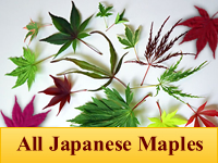 Japanese Maples - All