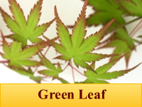 Japanese Maples - Green Leaf