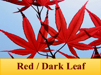 Japanese Maples - Red / Dark Leaf