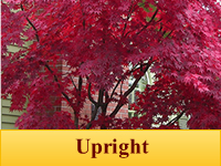 Japanese Maples - Upright