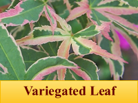 Japanese Maple - Variegated