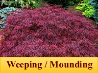 Japanese Maple - Weeping