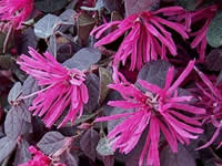 Loropetalum - Groundcover