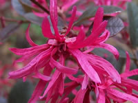 Loropetalums - Chinese Witch Hazel