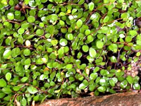 Muehlenbeckia - Creeping Wire Vine