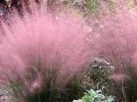 Muhly Grasses