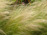 Nassella / Stipa - Feather Grass