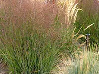 Panicum - Switch Grasses