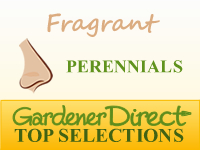 Perennials - Fragrant & Scented
