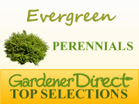 Perennials - Evergreen