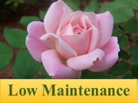 Roses - Low Maintenance