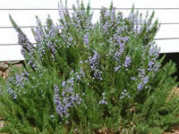 Rosemary Shrubs