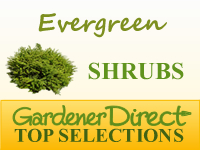 Shrubs - Evergreen