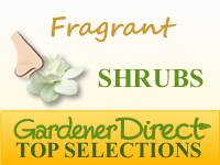 Shrubs - Fragrant & Scented