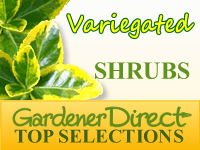 Shrubs - Variegated