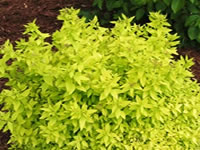 Spirea Shrubs