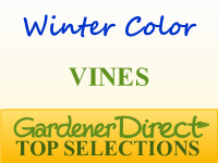Vines for Winter Color